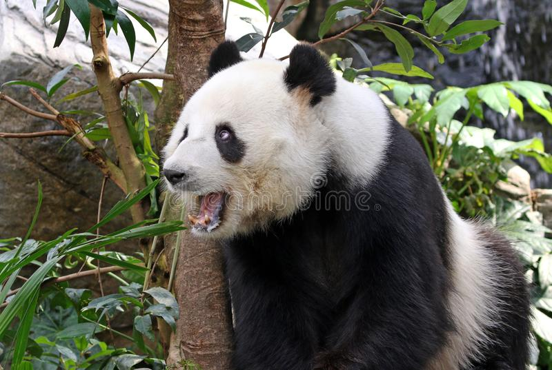 Giant panda bear yawning, Chengdu, China. Sitting Giant panda bear yawning, Chengdu, China stock photos