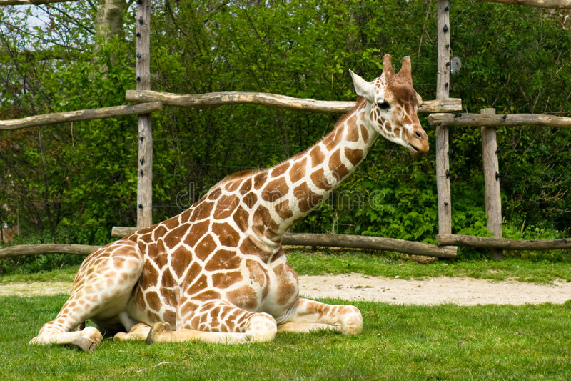 Download Sitting giraffe stock photo. Image of giraffe, little - 7146216