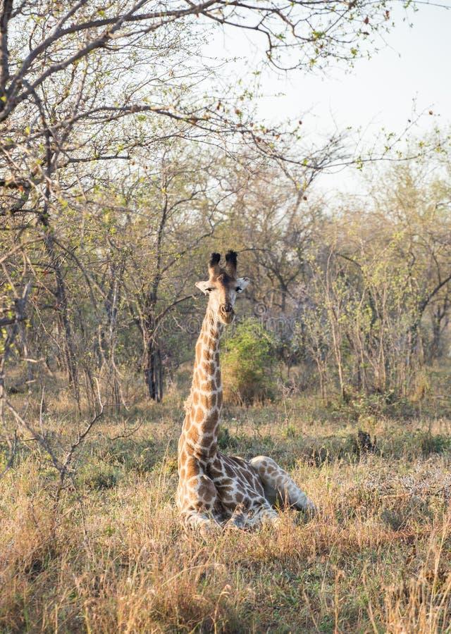 Sitting Giraffe royalty free stock images