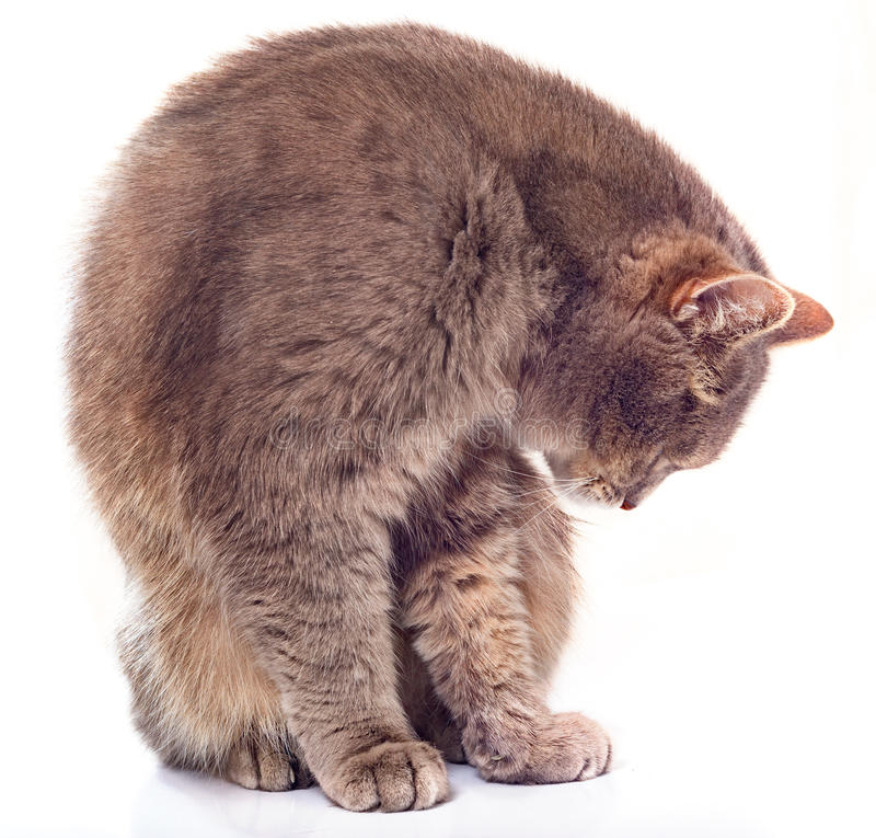 The sitting gray cat has inclined the head. The white background, a cat has bent and looks at the forepaws royalty free stock photos