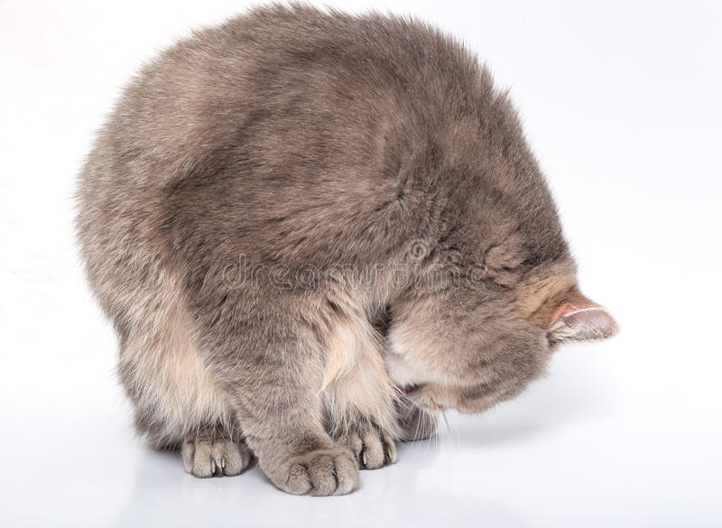 The sitting gray cat has inclined the head. The white background, a cat has bent and looks at the forepaws royalty free stock photography