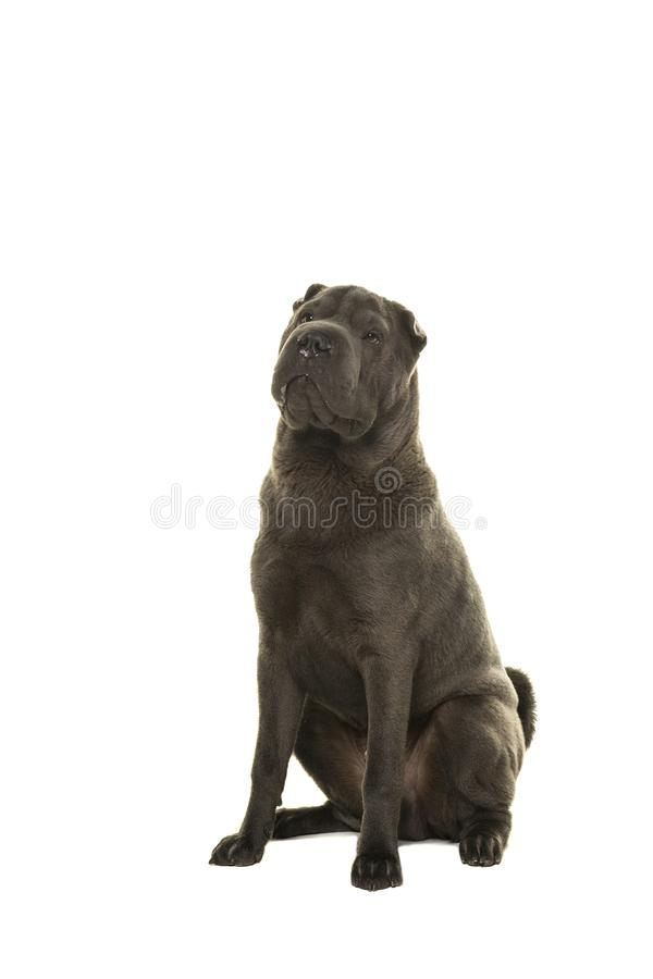 Sitting grey Shar-pei dog looking up on a white background. Sitting grey Shar-pei dog looking up isolated on a white background royalty free stock photography