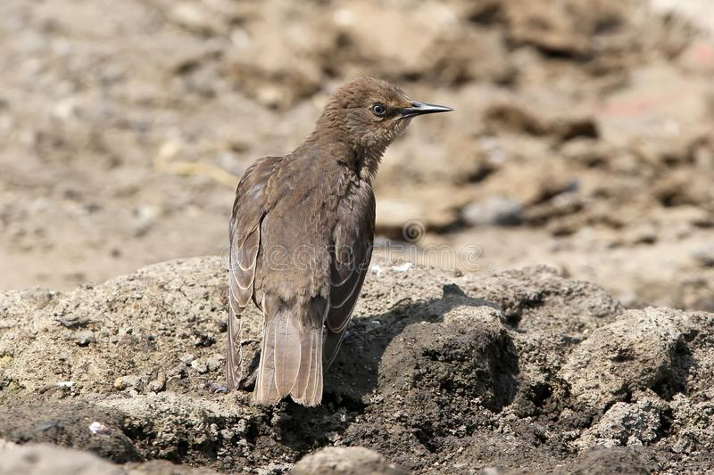 Young common starling. Sitting on the ground with a strange look young common starling photographed from the back royalty free stock photo