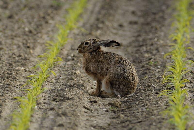 Sitting Hare ( Lepus europaeus ) stock photo