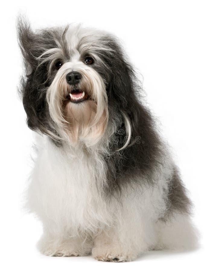 Free Sitting Havanese Dog Royalty Free Stock Images - 18154969