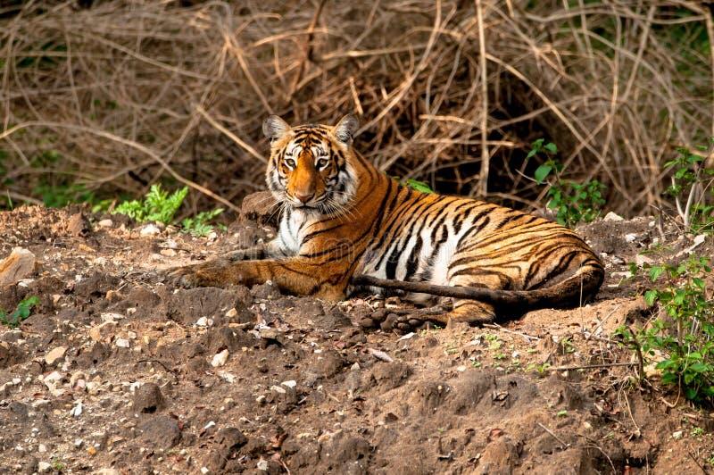 Sitting Indian tiger royalty free stock image