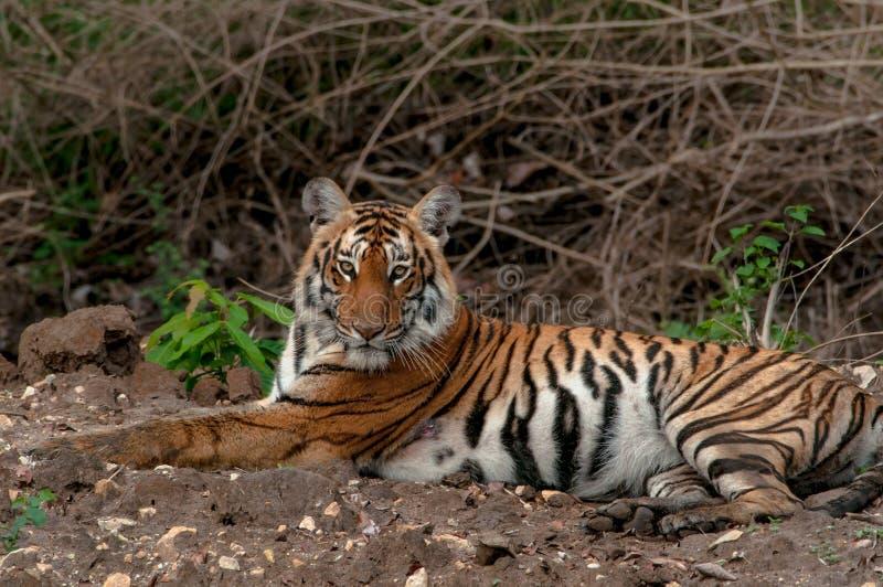 Sitting Indian tiger stock photos