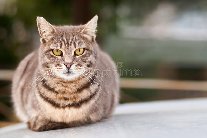 Stray Cat. Photo of a wild looking stray cat sitting / laying on top of a car. It has big eyes and ears, its color is gray or smoke and it has dark colored lines royalty free stock photo