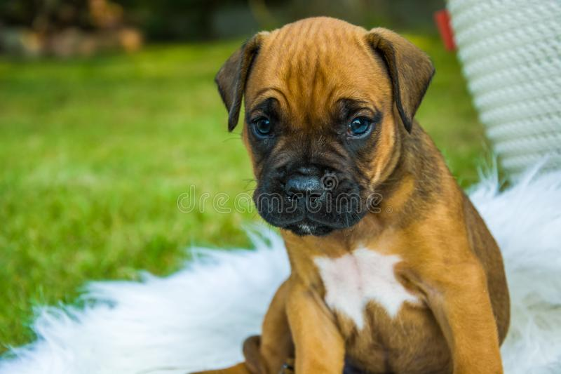 Sitting and looking little puppy. Sitting and looking little boxer puppy stock image