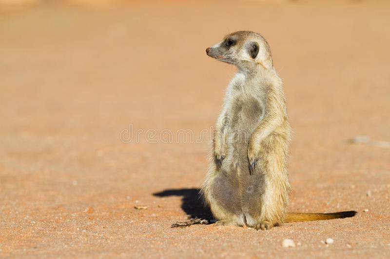 Sitting Meerkat Stock Photo