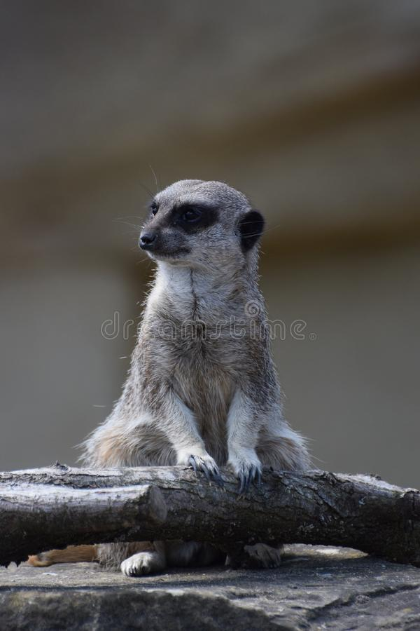 Sitting meerkat portrait. A meerkat sitting on a rock stock photography