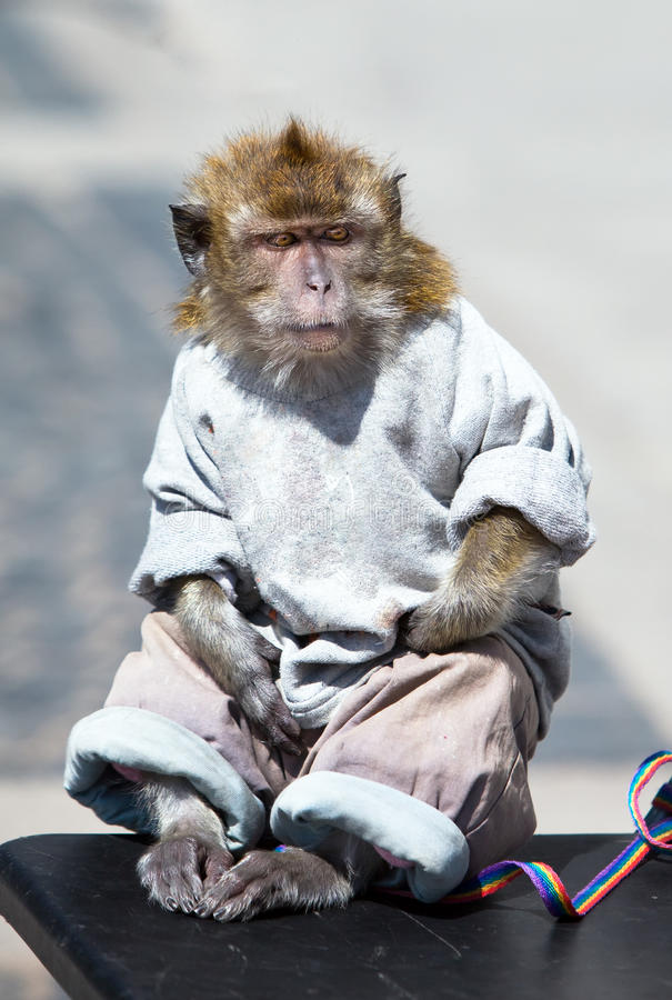 Download The Sitting Monkey Dressed, As The Person Royalty Free Stock Photo - Image: 17323525