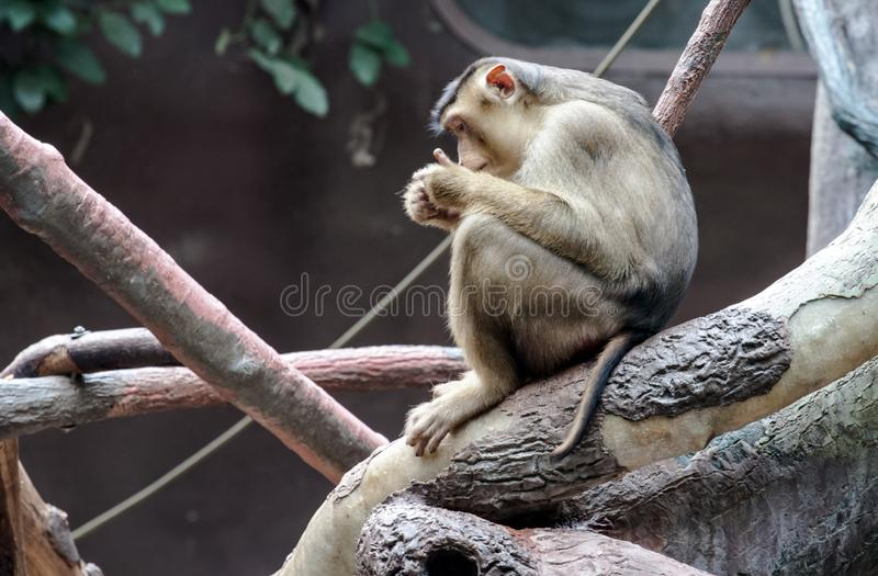 Sitting monkey royalty free stock photos