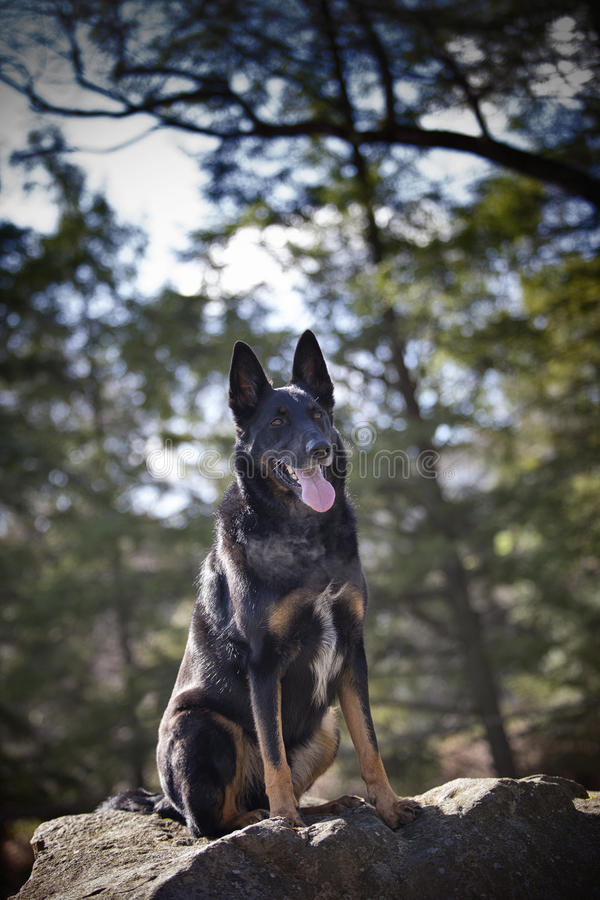 Sitting Panting Malinois Shepherd Mix on Rock royalty free stock photography