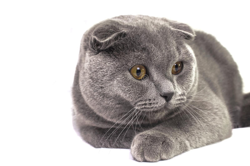 Sitting in the pose of a beautiful purebred gray Scottish cat royalty free stock image