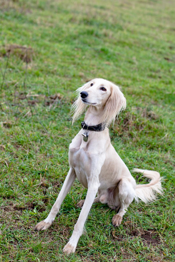 Sitting saluki. White saluki sitting on green grass stock photography