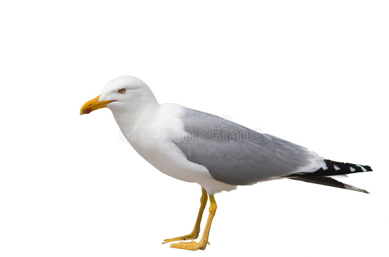 Sitting seagull isolated over white royalty free stock photography