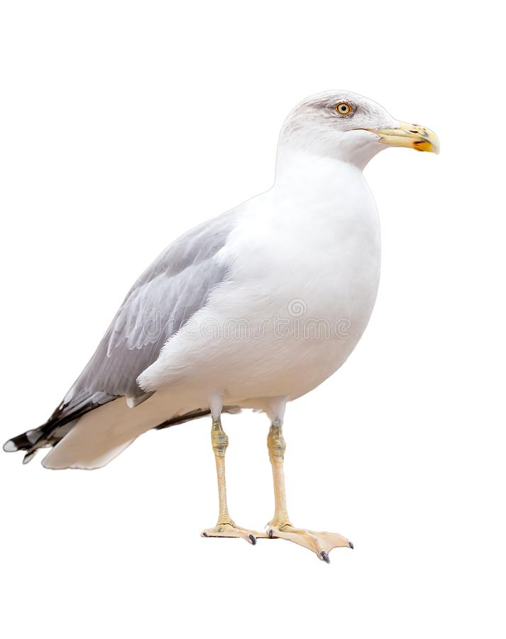 A sitting seagull isolated on white background stock photo