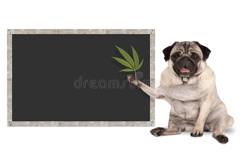 Sitting smiling pug puppy dog holding hemp leaf, with blank blackboard sign stock photos