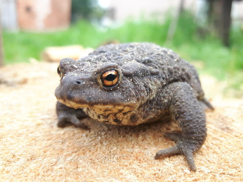 Sitting toad royalty free stock image