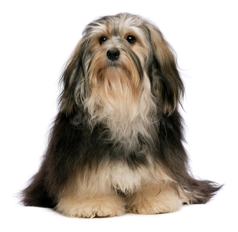 Free Sitting Tricolor Havanese Royalty Free Stock Photography - 18154987