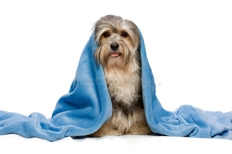 Download Sitting Tricolor Havanese With Blue Blanket Stock Photo - Image: 19075790