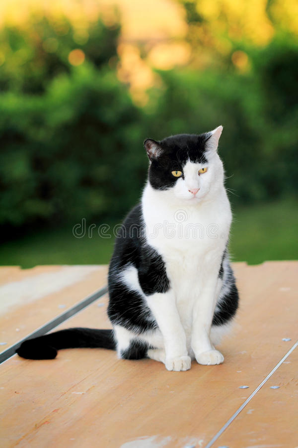 Sitting Tuxedo royalty free stock images
