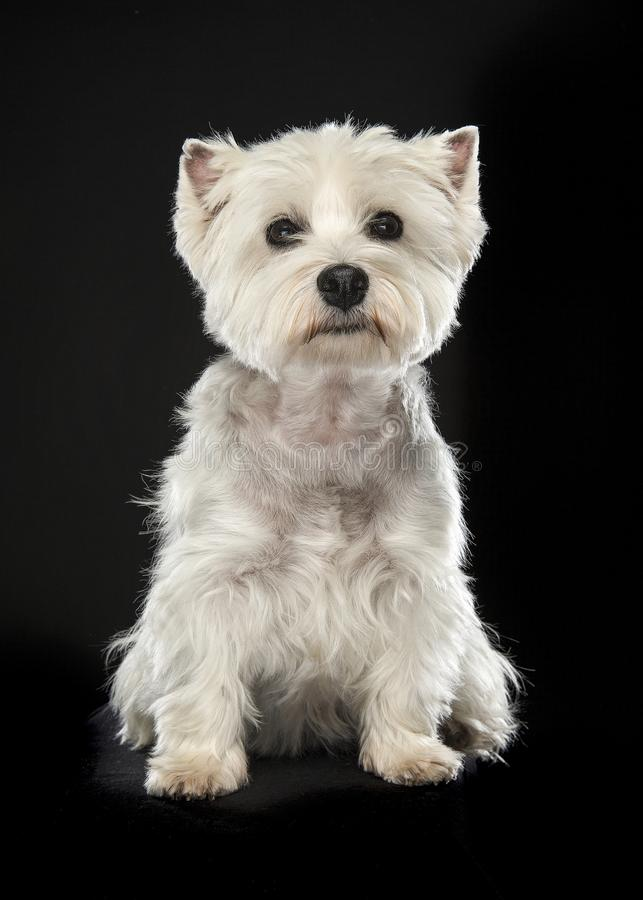 Sitting West highland white terrier or westie dog looking at the royalty free stock photo