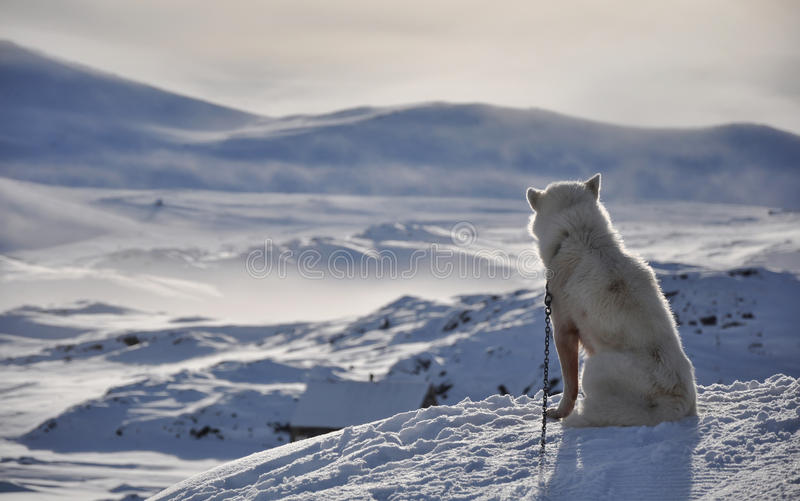 Sitting White Dog In Winter, Greenland Royalty Free Stock Photo