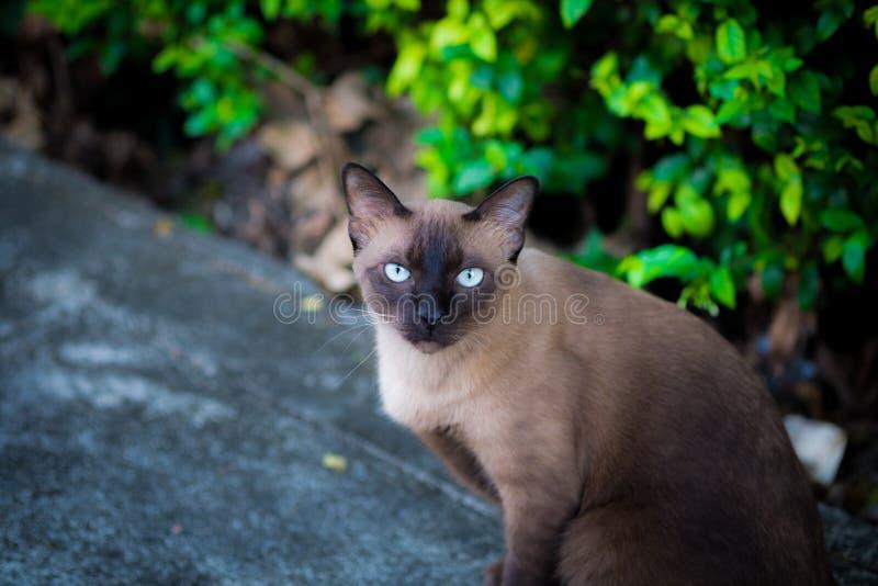 Sittingon del gato siamés el piso foto de archivo