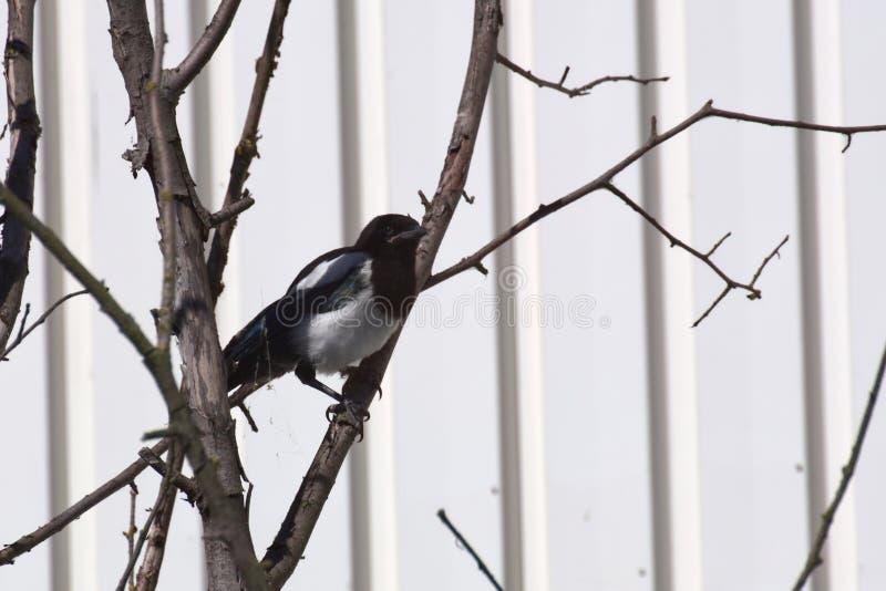 Sittinh comum da pega dos jovens (paica da paica) em uma árvore imagens de stock