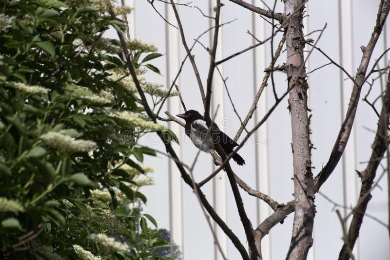 Sittinh comum da pega dos jovens (paica da paica) em uma árvore fotos de stock