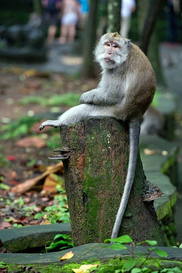Sittink annoiato della scimmia su un tronco di albero nella foresta della scimmia in Bali immagini stock libere da diritti