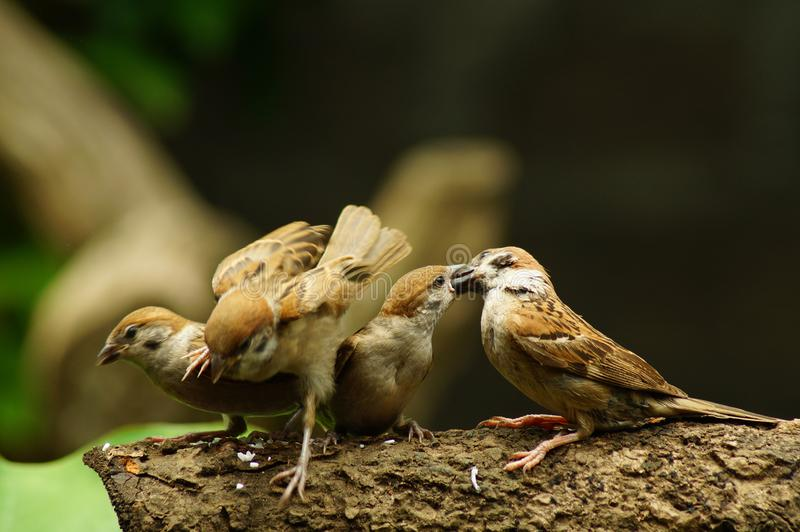 Sittpinne för filippinsk Maya Bird Eurasian Tree Sparrow eller förbipasserandemontanus på följe för matning för mun för trädfilia royaltyfri bild