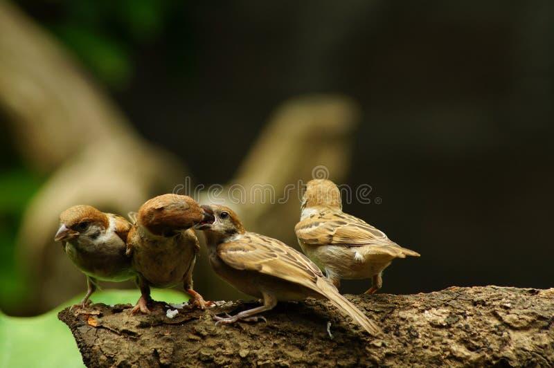 Sittpinne för filippinsk Maya Bird Eurasian Tree Sparrow eller förbipasserandemontanus på följe för matning för mun för trädfilia arkivbild
