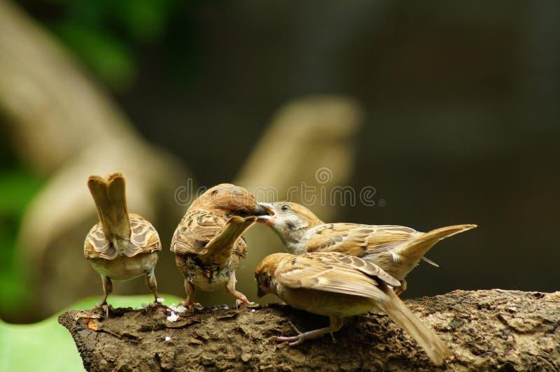 Sittpinne för filippinsk Maya Bird Eurasian Tree Sparrow eller förbipasserandemontanus på följe för matning för mun för trädfilia royaltyfria foton