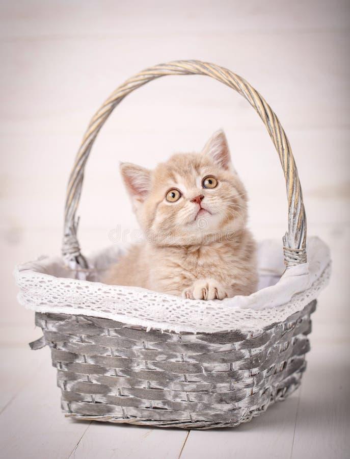 Situação de creme escocesa doce da vaquinha da cor em uma cesta de vime Retrato de um gato Gato em casa foto de stock royalty free