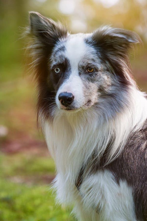 Situación adulta del perro del border collie en un bosque imagen de archivo libre de regalías