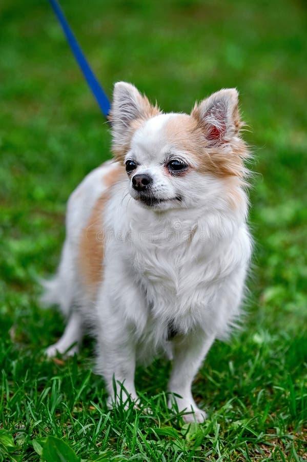 Situación adulta del perro de la chihuahua en el retrato de la hierba verde imágenes de archivo libres de regalías