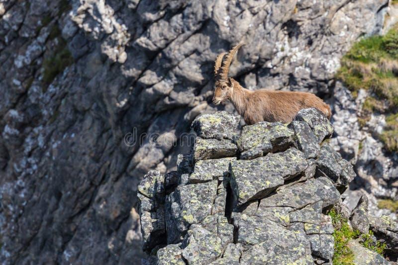 Situación alpina adulta del Capricornio del cabra montés del capra en la escarpa de la roca en sol imagenes de archivo