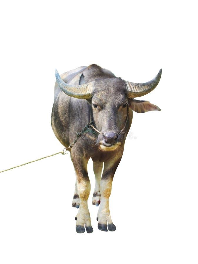 Situación asiática del búfalo con la cuerda y mirada de la cámara aislada en el fondo blanco fotografía de archivo