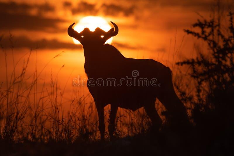 Situación azul del ñu en silueta contra puesta del sol imagen de archivo