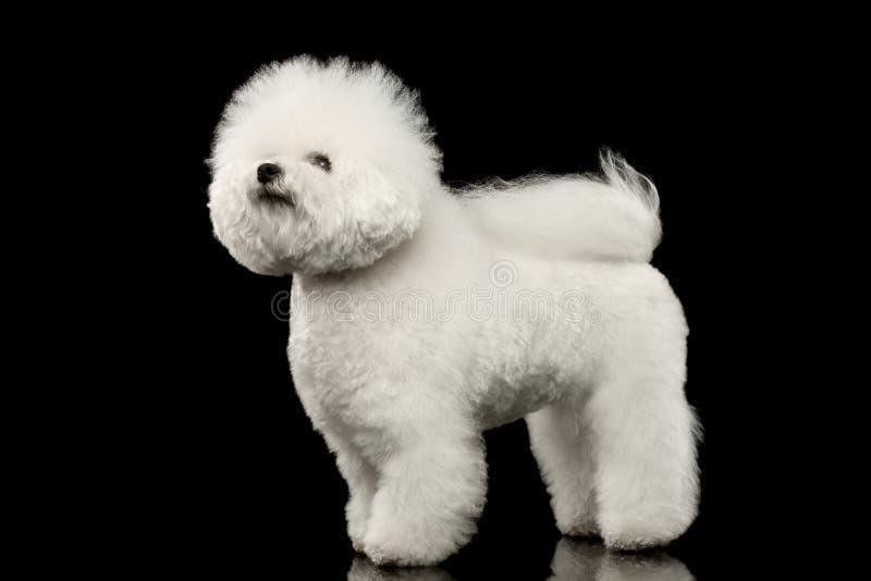 Situación blanca criada en línea pura del perro de Bichon Frise, mirando negro para arriba aislado fotos de archivo libres de regalías