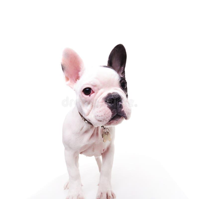 Situación blanco y negro del perro de perrito del dogo francés imagenes de archivo