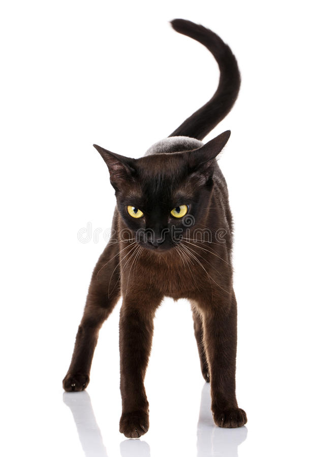 Situación burmese del gato negro en un fondo blanco fotografía de archivo