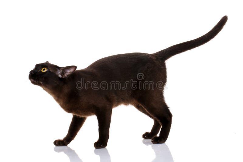 Situación burmese del gato negro en un fondo blanco fotografía de archivo libre de regalías