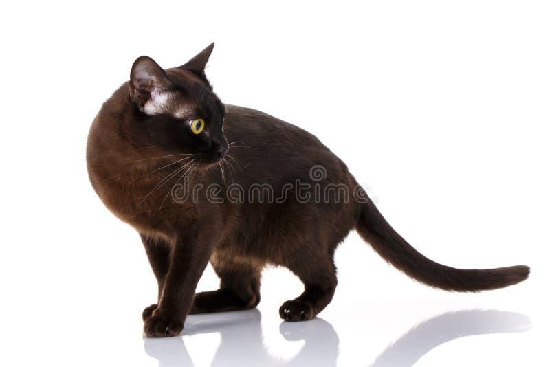 Situación burmese del gato negro en un fondo blanco imagen de archivo libre de regalías