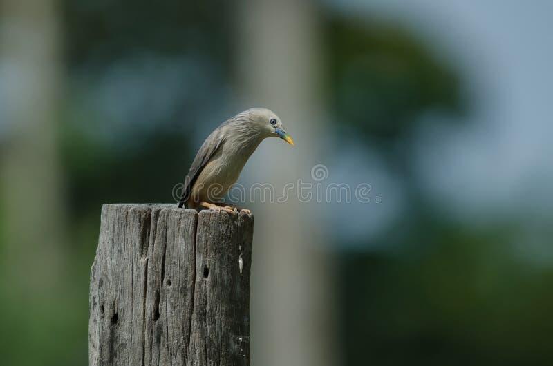 situación Castaña-atada del malabaricus del Sturnus del pájaro del estornino en la rama fotografía de archivo
