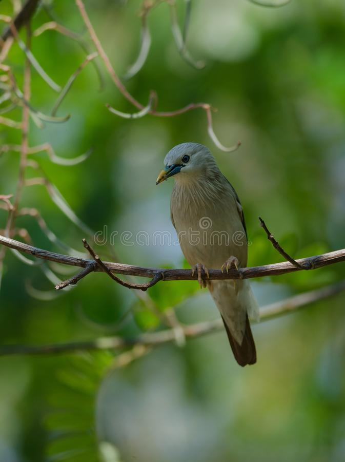 situación Castaña-atada del malabaricus del Sturnus del pájaro del estornino en la rama fotos de archivo libres de regalías