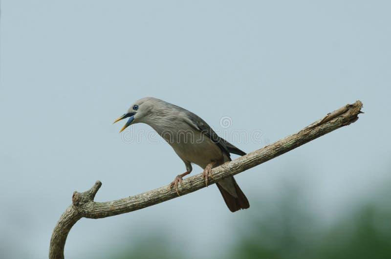 situación Castaña-atada del malabaricus del Sturnus del pájaro del estornino en la rama imagen de archivo